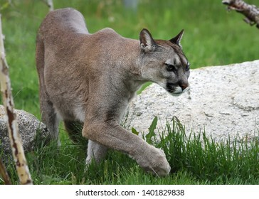 eb163eb4fe9ac Silent walk of cougar (Puma concolor)