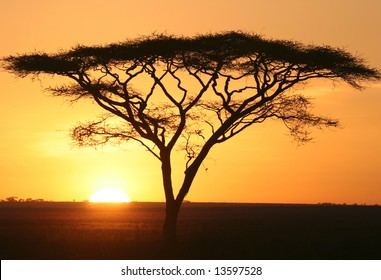 Silhouette of Acacia in sunrise. Serengeti national park. Tanzania