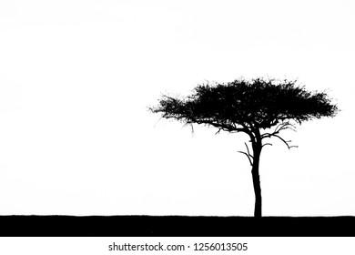 Silhouette of Acacia Tree on the White Background at Maasai Mara National Reserve, Kenya.