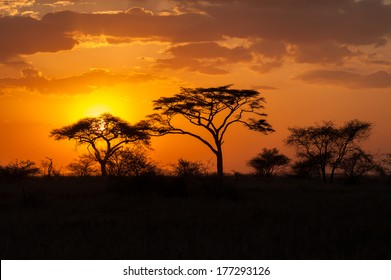 Silhouette of acacia trees at Sunset in Amboseli National Park, Kenya.