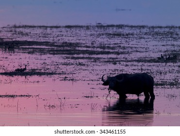 Silhouette of African buffalo in the water of Chobe river during sunset with colorful mauve distant background