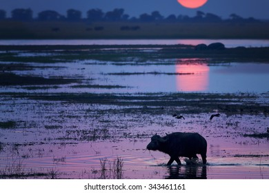 Silhouette of African buffalo in the water of Chobe river during sunset with colorful mauve distant background, with sun reflecting in the water.