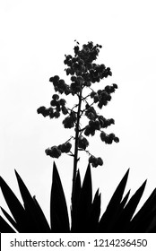Silhouette of agave flower