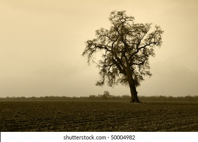 Silhouette of aged bare oak tree in Winter fog, behind plowed field, San Joaquin Valley, California..