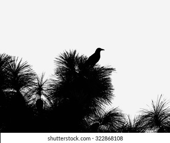 Silhouette of an American crow perched on a southern longleaf pine tree