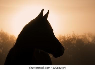 Silhouette of an Arabian horse in heavy fog at sunrise
