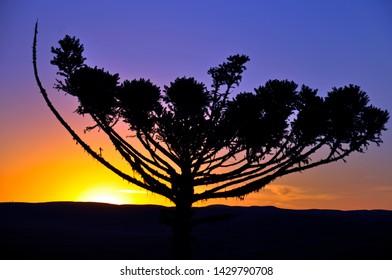 Silhouette of araucaria pine on a sunset purple sky