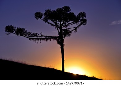 Silhouette of an araucaria pine on a sunset purple sky