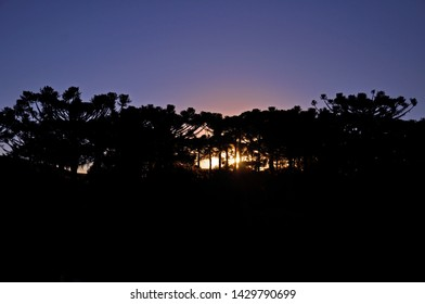 Silhouette of araucaria pines on a sunset purple sky