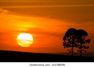 Silhouette of Araucarias at sunset, a genus of evergreen coniferous trees typical of the southern Brazil