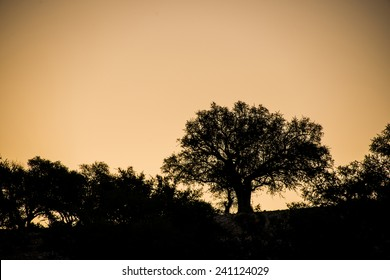 A silhouette of argan trees against the morining sky in an argan tree plantation in Morocco in the spring.