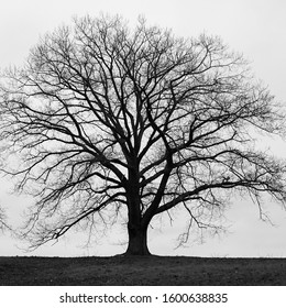 Silhouette of bare large tree in monochrome with grey winter skies