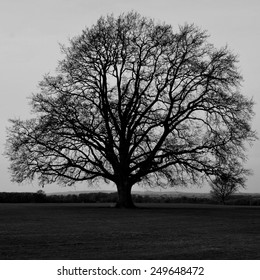 Silhouette of a Bare Oak Tree in Black and White