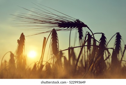 Silhouette of a barley field in sunset.