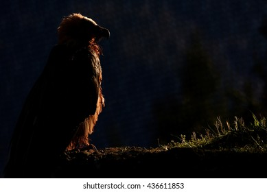 The silhouette of a bearded vulture at a Swiss zoo.
