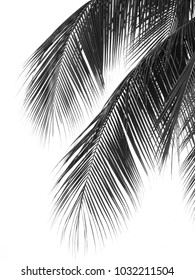 Silhouette of beautiful coconut leaf on white background