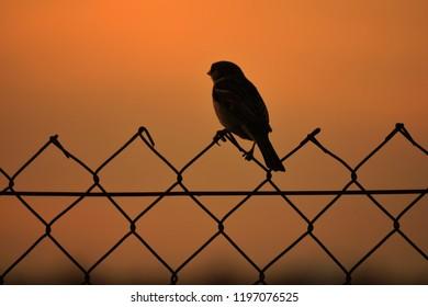 Blue Tit Garden Bird Silhouette Metal Fence