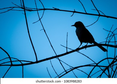 Silhouette of a bird (Mockingbird) perched high on the branches of a tree in Monterey of the central coast of California.