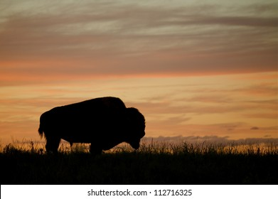 Silhouette of a Bison / Buffalo against a colorful sunset, Montana; prairie wildlife