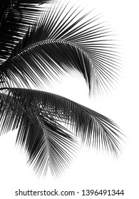 silhouette black coconut leaf on white background