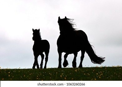 Silhouette of black Fell Pony mare with foal