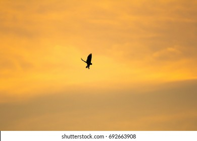 silhouette Black shouldered Kite eagle with evening sun light scene