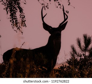 Silhouette of a black tailed Columbian Deer buck at twilight in the hills of Monterey, California.