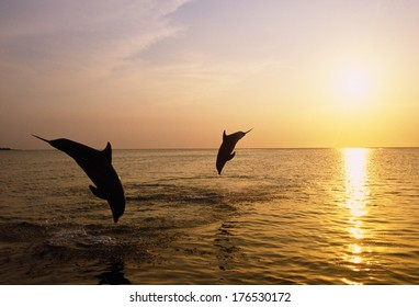 Silhouette Of Bottlenose Dolphins