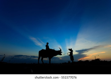 silhouette of boys with buffalo standing in the morning.
