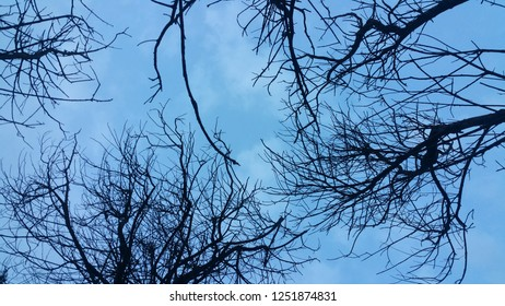 silhouette branch of coniferous tree