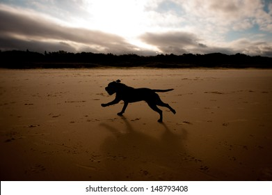 Silhouette of Brown English Staffordshire Terrier Running on Beach at sunset