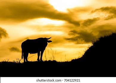 Silhouette of buffalo on Rain clouds. Buffalo in thailand.