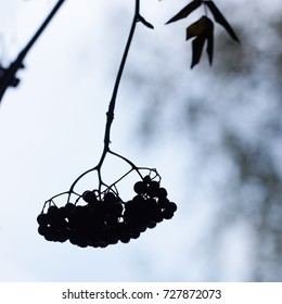 silhouette of a bunch of berries on a branch
