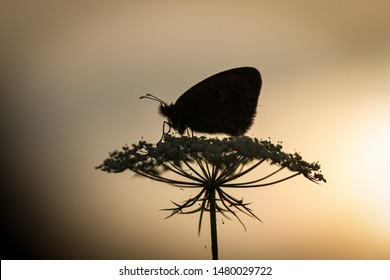 Silhouette of a butterfly sitting on a flower in early morning before sunrise.