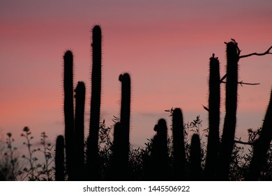 Silhouette of cacti by night