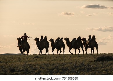 Silhouette of camel rider going on a plain wih other camels tied with rope in backlight. Sky is white color
