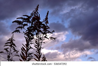 The silhouette of Canada goldenrod - Solidago canadensis.