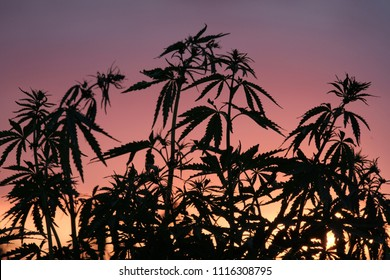 Silhouette of cannabis bushes against the background of sunset or dawn. Wild plants of the hemp family.