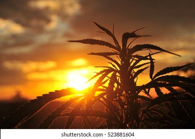 Silhouette of cannabis plant at sunrise. Cannabis plant growing outdoor. Cannabis agriculture.