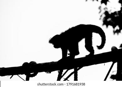 Silhouette of a capuchin monkey mammal zoo