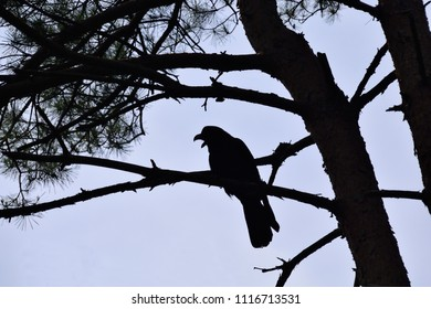 "Silhouette of Carrion crow - Corvus corone. It is called ""Hashiboso garasu"" in Japan."