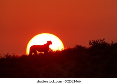 Silhouette of Cheetah, Acinonyx jubatus, coming into rising sun on the dune of Kalahari desert, Botswana. Predator, animal profile against the solar disk. Red sunrise and big cat of desert.