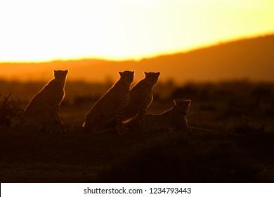 Silhouette of cheetahs at sunrise in Masai Mara Nature Reserve, Kenya