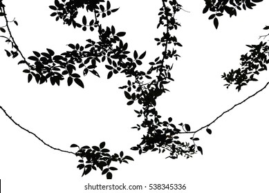 Silhouette of climbing rose leaves with white background.