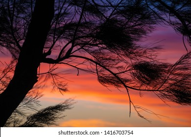 Silhouette of coastal needle tree against orange and red sky at Indian Ocean in Shark Bay Western Australia