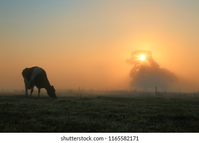 Silhouette of cow graze on a farmland in East Devon. Sun rays shining trough tree on a misty morning