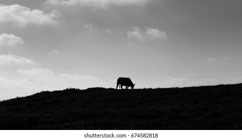 Silhouette of a cow grazing in fields. Black and white. Normandy, France.