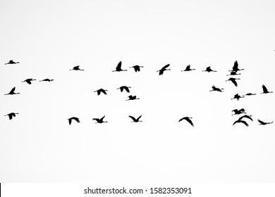 Silhouette of cranes in flight