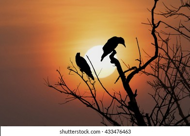 silhouette crow on dry tree with sunset, selective focus