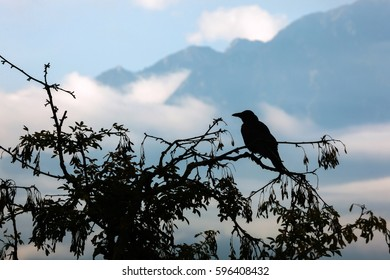 Silhouette of crow on tree with Alps in clouds in background. Switzerland.